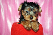 Male And female Tiny Micro Teacup Yorkie Puppies Available Now!