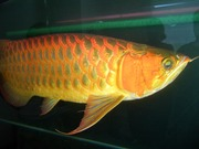Spectacular Asian Arowana And Many Other Aros For Sale